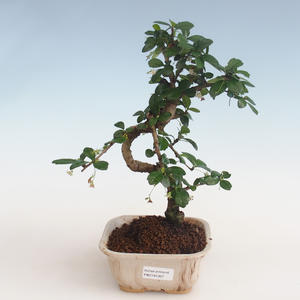 Innenbonsai - Carmona macrophylla - Tee fuki PB2191307