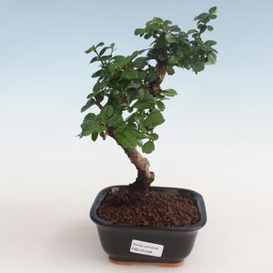 Innenbonsai - Carmona macrophylla - Tee fuki PB2191308