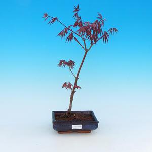 Outdoor-Bonsai - Ahorn palmatum Trompen - Rot-Ahorn dlanitolistý
