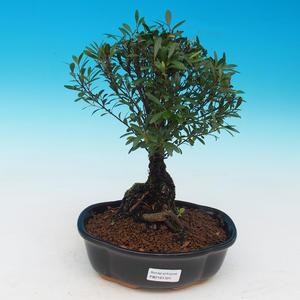 Zimmerbonsai Syzygium -Pimentovník PB217385