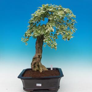 Zimmerbonsai - Duranta variegata
