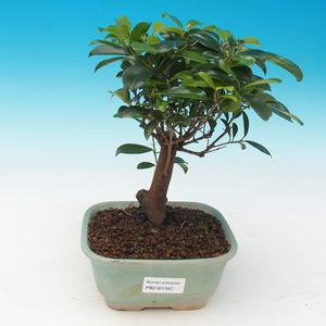 Zimmer Bonsai - Australian Kirsche - Eugenia uniflora