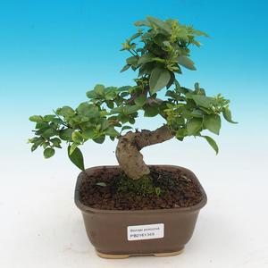 Zimmer Bonsai -Ligustrum chinensis - Liguster