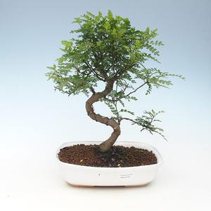 Indoor Bonsai - Zantoxylum piperitum - Pfefferbaum 414-PB2191358