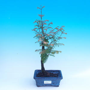 Outdoor-Bonsai - Sumpfzypresse