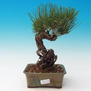 Im Freien Bonsai-Pinus Thunbergii - Thunberg-Kiefer