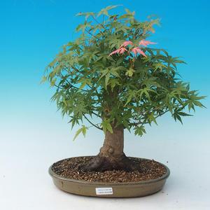 Bonsai im Freien - Acer palmatum - Afrikanischer Ahorn
