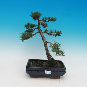 Outdoor-Bonsai - Perus chinensis Chinese -Jalovec