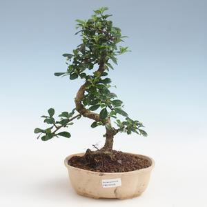 Innenbonsai - Carmona macrophylla - Tee fuki PB2191435