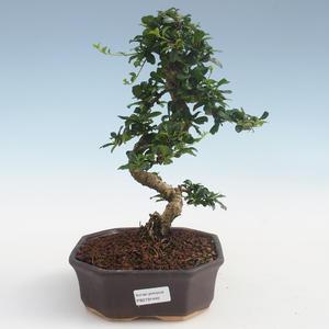 Innenbonsai - Carmona macrophylla - Tee fuki PB2191440