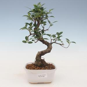 Innenbonsai - Ficus kimmen - kleiner Blattficus 2191448