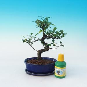 Carmona macrophylla - Tee fuki