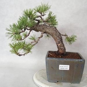 Innenbonsai - Carmona macrophylla - Tee fuki 2191459