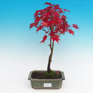 Outdoor-Bonsai - Maple dlanitolistý
