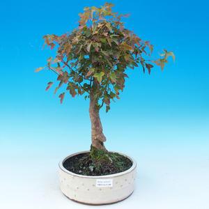 Bonsai im Freien - Ahorn Buergerianum - Burger Maple