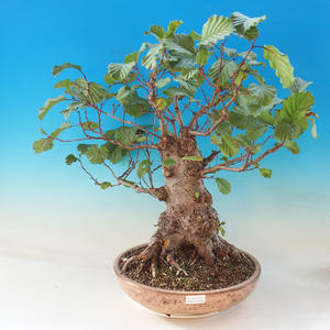 Bonsai im Freien - Sticky Fledermäuse - Alnus glutinosa
