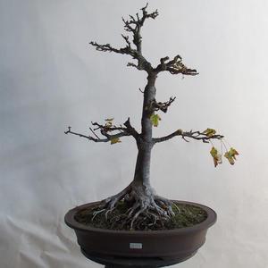 Bonsai im Freien - Eichelahorn - Acer platanoides