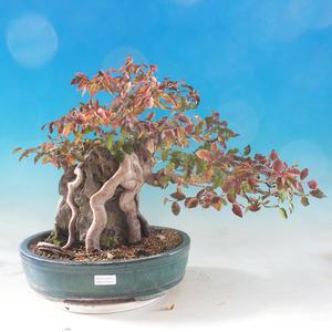 Bonsai im Freien -Carpinus CARPINOIDES - Koreanisches Horn