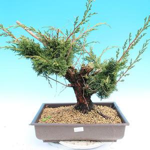 Yamadori Juniperus chinensis - Wacholder