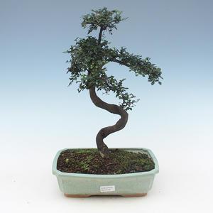 Indoor Bonsai - Ulmus Parvifolia-Kleine Blattulme PB2191558