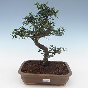 Indoor Bonsai - Ulmus Parvifolia-Kleine Blattulme PB2191559