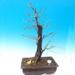Bonsai im Freien - Karpfen - Carpinus carpinoides