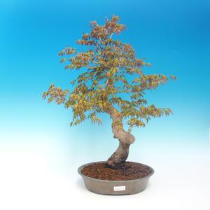 Outdoor-Bonsai - Acer pamnatum - japanischer Ahorn