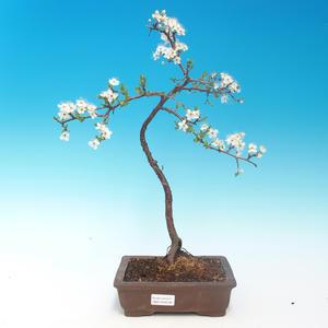 Outdoor-Bonsai - Prunus spinosa - Schwarzdorn