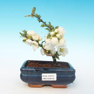 Outdoor-Bonsai - Chaenomeles superba-Jet-Trail - Weiße Quitte