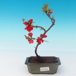 Outdoor-Bonsai - Chaneomeles japonica - japanische Quitte