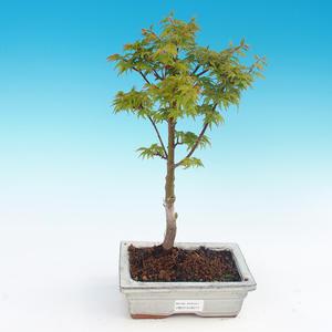 Outdoor-Bonsai - Acer palmatum SHISHIGASHIRA - Kleiner Ahorn