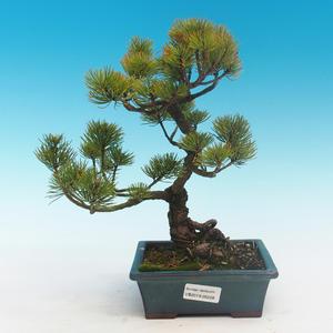 Bonsai im Freien - Pinus parviflora - kleine Kiefer