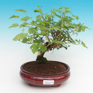 Outdoor-Bonsai - Morus alba - Mulberry
