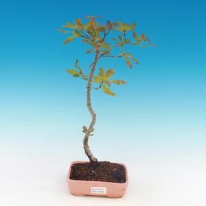 Outdoor Bonsai-Quercus robur-Sommereiche