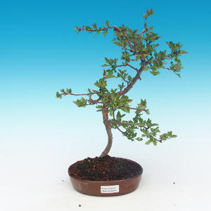 Outdoor Bonsai - Single Weißdorn