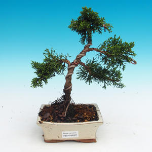 Outdoor-Bonsai - Juniperus chinensis - chinesischer Wacholder