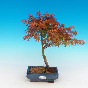 Im Freienbonsais - Acer palmatum Beni Tsucasa - japanischer Ahorn