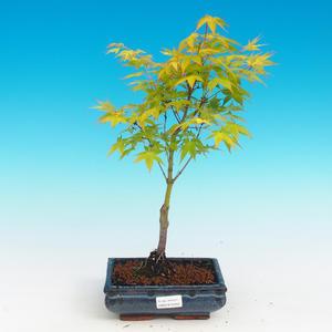 Bonsai im Freien - Acer palmatum Aureum - goldener japanischer Ahorn
