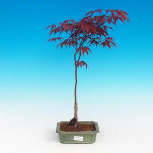 Bonsai im Freien - Acer-Palme. Atropurpureum - Japanisches Ahornrot