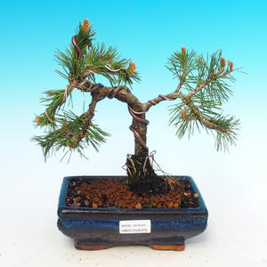 Bonsai im Freien - Pinus mugo Humpy - Pine Pine