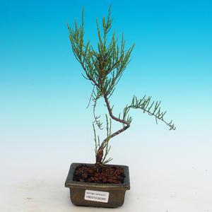 Bonsai im Freien - Tamaris parviflora