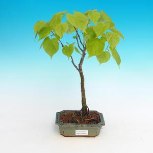 Bonsai im Freien - kleinblättrige Limette
