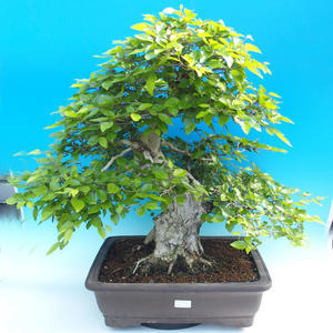 Outdoor-Bonsai -Carpinus CARPINOIDES - Koreanisch Hainbuche