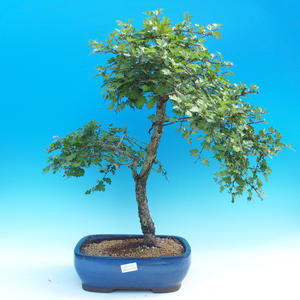 Outdoor-Bonsai - Hawthorn jednosemený