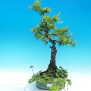Bonsai im Freien - Larix decidua - Lärche laubwechselnd