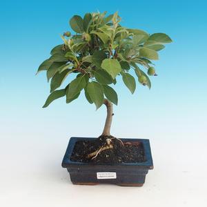 Bonsai im Freien - Malus halliana - Malplate Apfelbaum