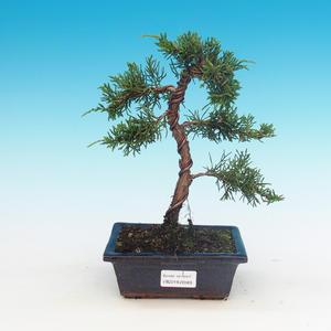 Outdoor-Bonsai - Juniperus chinensis - chinesischer Wacholder
