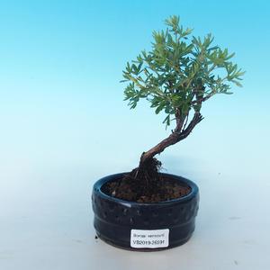 Bonsai-Cinquefoil im Freien - Dasiphora fruticosa gelb