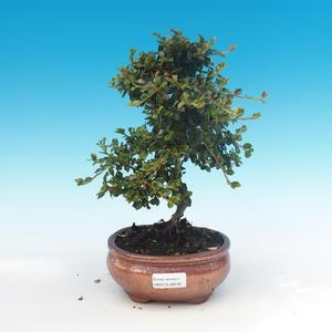 Outdoor-Bonsai-Cotoneaster horizontalis-Cotoneaster