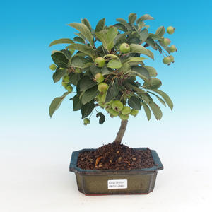 Outdoor-Bonsai -Malus Halliana - fruited Apfel